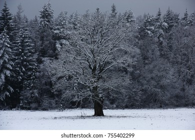 In the early gloomy November morning the lonely oak and forest and a field have appeared are covered by the first snow.