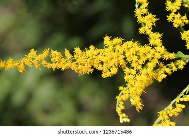 Early Goldenrod in Bloom