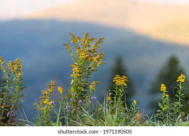 Early goldenrod and milk thistle yellow purple wild flowers wildflowers at West Virginia mountains overlook in autumn fall with foliage in morning sunrise or sunset sunlight