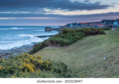 Early Gorse at Craster Village, which is a small fishing village on the Northumberland coast, with a small harbour and views to the ruins of Dunstanburgh Castle