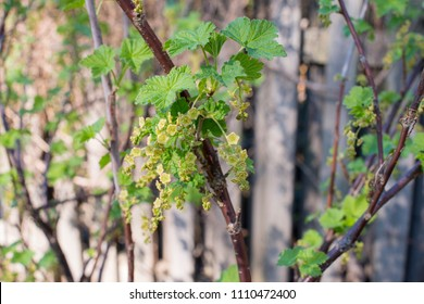Early green redcurrant flowers.