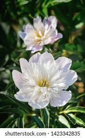 Early midseason white peony blossom. Close up.