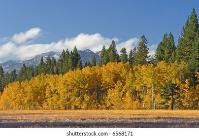 Early Morning Aspen Grove at Fallen Leaf Lake in the Lake Tahoe Area