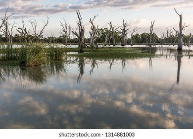 Early morning Backwater on the River Murray South Australia, important environment for native fish and birds, reflected sky with reeds and ghost gums. Landscape background.