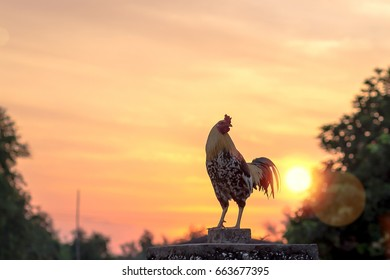 Early morning concept: Silhouette rooster on blurred beautiful sunrise sky with sun light in farm background