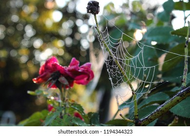 Early morning dew drops on the web and on the petals of a red rose