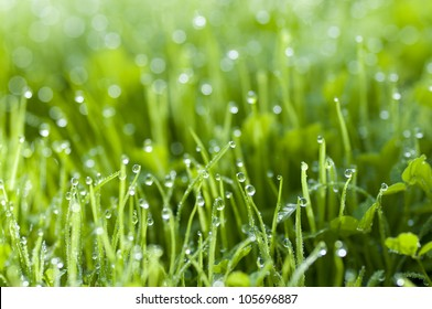 Early morning dew on fresh green grass