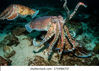 Early morning dive brought the awesome mating display of reef Cuttlefish. A show takes place as they all change patterns and colors and the male trys to attract the female. Andaman Sea, Thailand.
