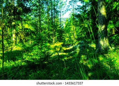 early morning in a Finnish forest in summer