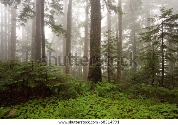 Early morning fog in the forest