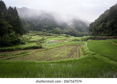 Early morning fog rolls over Japanese rice field