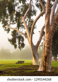 early morning fog white ghost gums trees local football park Melbourne city