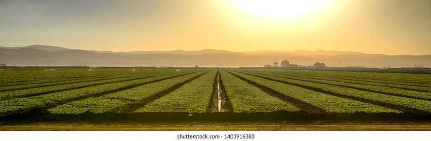 Early Morning in the growing Fields of Northern California In Panoramic view