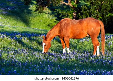 Early morning image of a horse with Bluebonnets near Ennis, Texas
