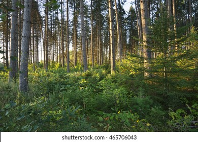 Early morning light filters between tall pines in a northern Minnesota forest