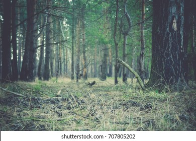 Early morning light in the pine forest, spring forest filtered background.
