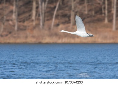 In the early morning a mute swan glides across a deep blue lake. Wings opened, feet up, neck stretched out, the swan soars just above the water.