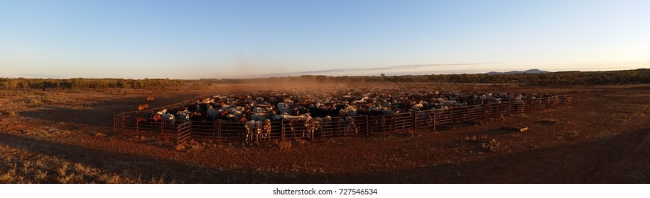 Early morning panorama of a panel yard full of beef cattle on an outback australian cattle station.