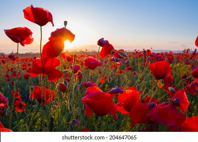 early morning red poppy field scene