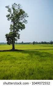 Early morning rice field with young green rice growing through water logged clay soil. With last few native trees surviving in background. - Shutterstock ID 1049072552