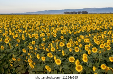 Early morning shot of a field of sunflowers, central valley or California, hills in the background