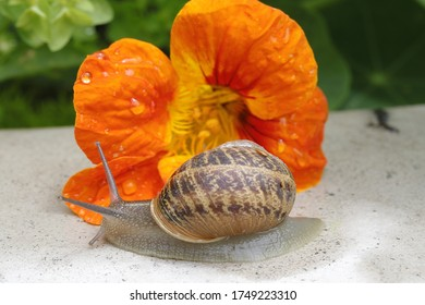Early morning snail eating a flower