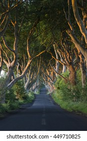 Early morning sunlight on the 'Dark Hedges' - an avenue of ancient trees in County Antrim in Northern Ireland.
