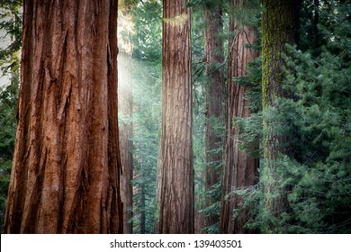 Early morning sunlight in the Sequoias of Mariposa Grove, Yosemite National Park, California, USA