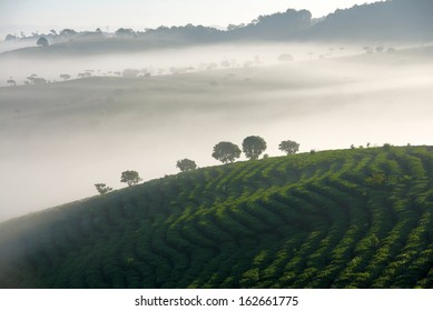 early morning tea plantations in China