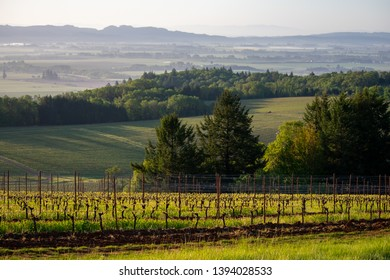 An early morning view of a hillside spring vineyard in Oregon, long shadows and sun backing the tiny new leaves on each vine and a misty valley in the background.