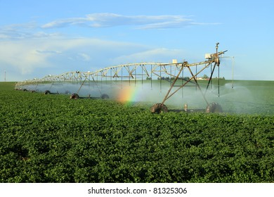 An early morning view of potato field irrigated with a  center pivot  sprinkler system.  The mist from the sprinklers causes a rainbow