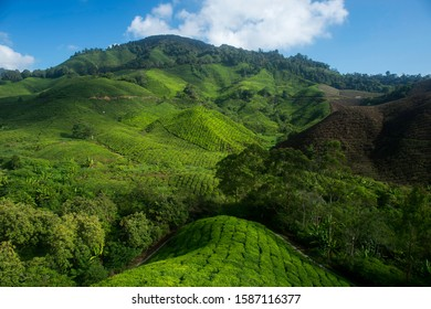 Early Morning View at The Tea Valley in Cameroon Highland Malays