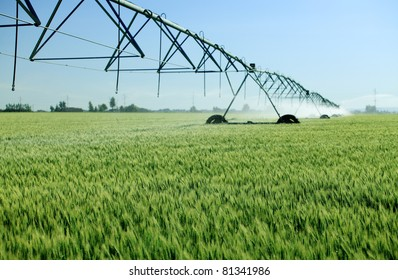 An early morning view of a wheat  field irrigated with a  center pivot  sprinkler system.