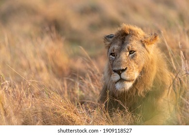 Early morning a young lion is resting in the grass