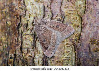 Early Moth ( Theria primaria ) in the family Geometridae. Sitting on a tree trunk