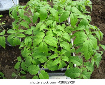 As early as possible in the spring gardeners grow seedlings of tomato/ Seedlings of tomato