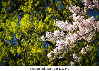 Early September Spring of Cherry Blossoms in Hagley Park, Christchurch, New Zealand