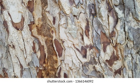 Early skin Samanea saman.Bark skin peeling off the background