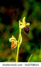 early spider-orchid, flower of the orchid