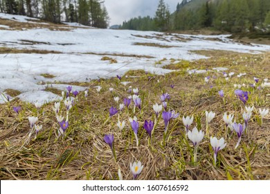 early spring blooming meadow with crocus in Sella di Rioda, Alps, Italy