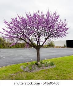 Early spring blossoming redbud tree. Horizontal.