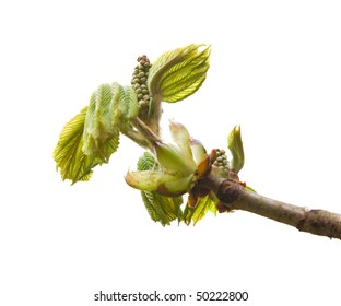 early spring bud of chestnut tree, isolated on white