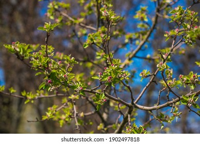 Early spring, close up branches of blossom garden,  gardening concept - Shutterstock ID 1902497818