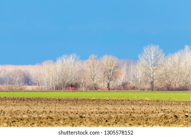 Early spring countryside landscape, Early spring wheat in a field