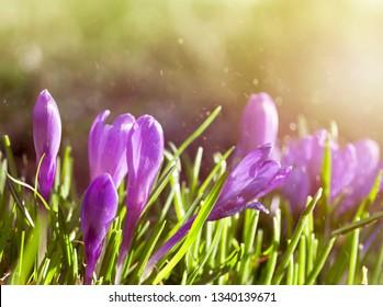 Early spring crocus flower in the garden