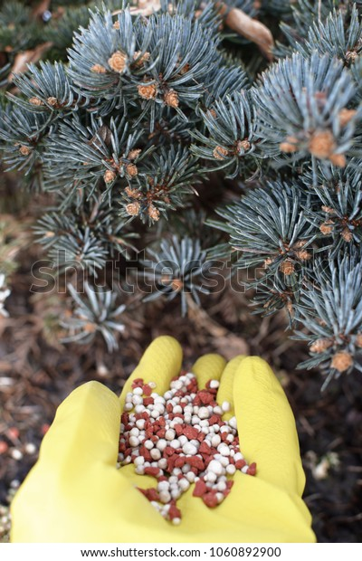 Early spring fertilization of young spruce tree by hand wearing yellow gloves with chemical fertilizer granulas. Seasonal spring garden work concept.