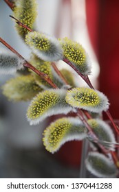 Early spring flowering male catkins (pussy willow, grey willow, goat willow). Branches with Expanded buds for Easter decoration. Close-up of Willow twig as a spring symbol.