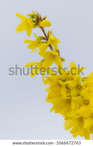 Early Spring Flowering Shrubs Yellow Flowers Stock Photo Edit Now