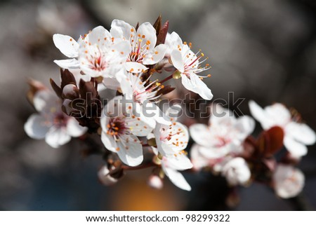 Early Spring Flowering Trees White Petals Stock Photo Edit Now