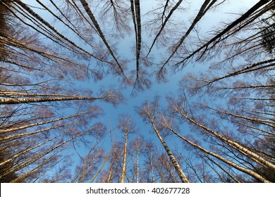 Early spring forest treetops, russian birch (intentionally distorted image; shot with a fisheye lens)